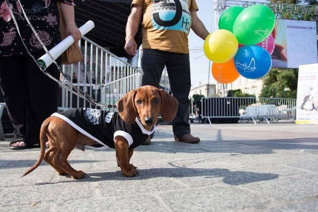 Dachshund March 2018